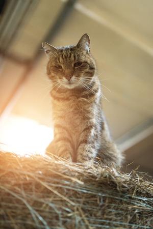 eye ball: Big barn lazy domestic cat on hay bale in a barn