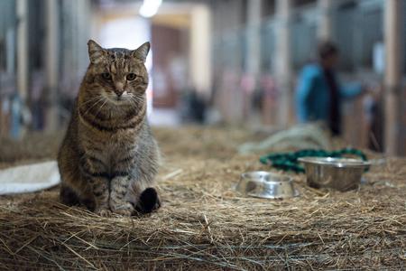 건초 베일에 헛간에 큰 헛간 게으른 국내 고양이