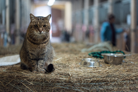 Big barn lazy domestic cat on hay bale in a barn