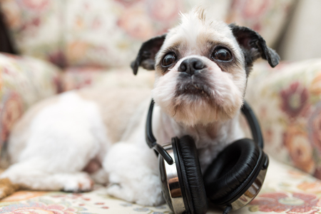 plead: Cute Shih Tzu looking up lying on a shabby chic chair with headphones