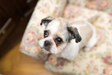 plead: Cute Shih Tzu looking up sitting on the shabby chic chair Stock Photo