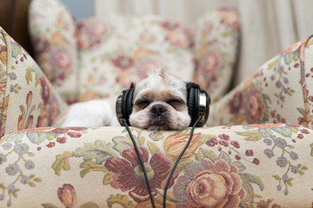 plead: Cute Shih Tzu lying on the shabby chic chair with headphones listening to music Stock Photo