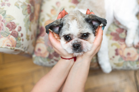 Cute Shih Tzu looking up sitting on the shabby chic chair Stock Photo