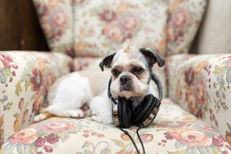 Cute Shih Tzu lying on the shabby chic chair with headphones listening to music Stock Photo