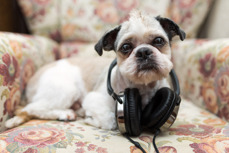 Cute Shih Tzu looking up lying on a shabby chic chair with headphones