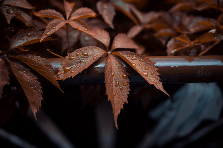 Brown leafs of Five-leaf vines Parthenocissus quinquefolia with drops of rain on top. Close up photography with macro view