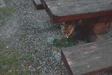 Wild red fox is lurking under the table
