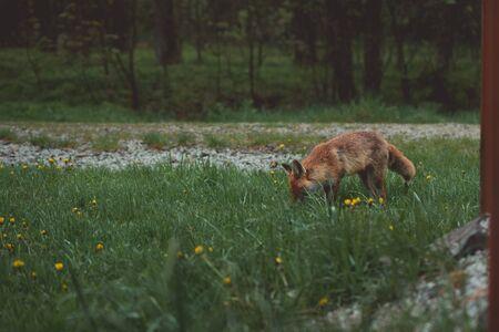 Wild roter Fuchs sucht nach Nahrung Lizenzfreie Bilder