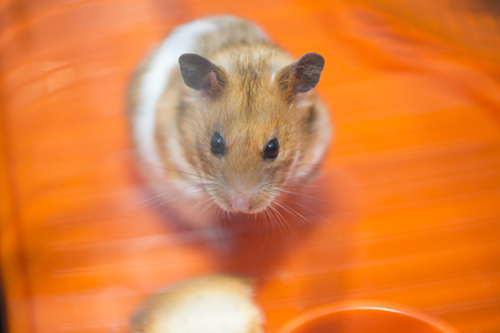 Hamster existential crisis. To be or not to be. Stock Photo