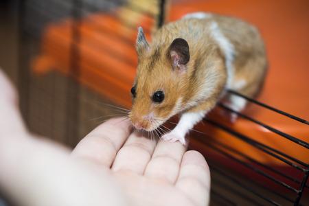 Hamster versucht, auf die menschliche Hand einzutreten Lizenzfreie Bilder