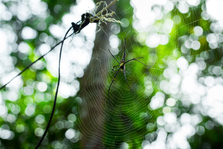 Giant golden orb web spider Nephila pilipes siting on the web. Beautiful green bokeh background. South Cambodia. Koh Rong Sanloem.