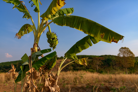 Banana tree with fresh banana bunch grooving in wild. Cambodia, Banlung province.