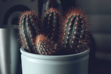 Cactus with orange spines in a blue flowerpot standing on a shelf Stock Photo