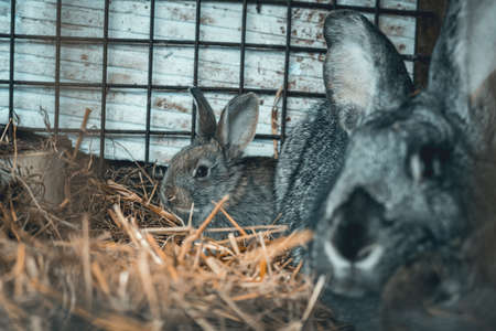 Huge rabbit famele with young little bunnies in the cage, relaxing after meal. Female breeding.