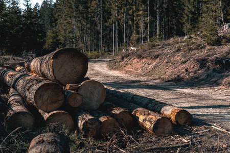 Wilderness, nature and the forest. Beautiful sunny day in the woods and cutting area with felled logs of wood. Cutted trees, Deforestation of the Polish forest. Zdjęcie Seryjne