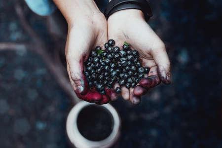 Fresh, ecological and natural forest blueberries kept in hands. Hands full of berries.
