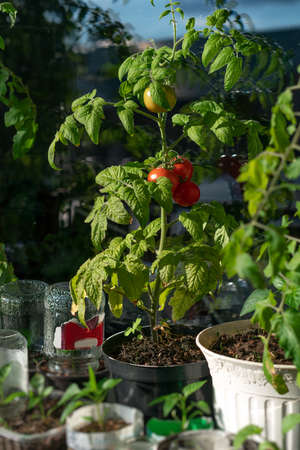 Ecological and natural ripe tomato hanging on the branch. Home cultivation of vegetables Zdjęcie Seryjne