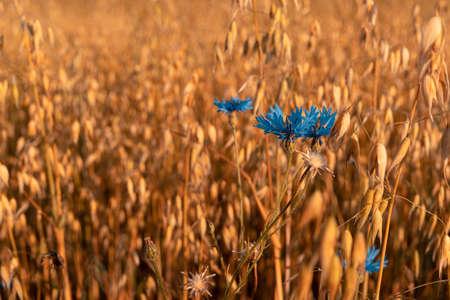 Beautiful landscape of golden grain field with blue cornflower (Cyanus segetum) in the warm light of the rising Sun. Zdjęcie Seryjne