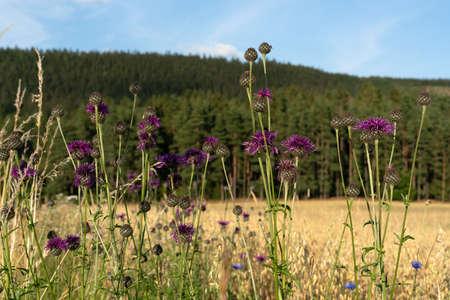 Creeping Thistle (Cirsium arvense) in the grain field Zdjęcie Seryjne