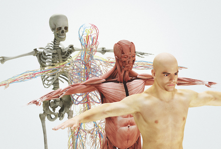 Human body from bones to skin, 3d render illustration Stock fotó