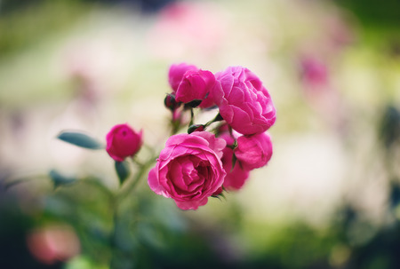 Pink roses in a garden, summer flowers