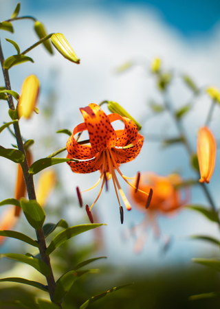Tiger lily in a garden, summer flowers