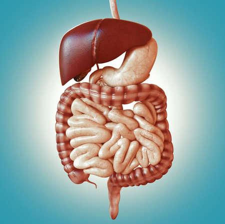 Concept diet. Digestive system. Healthy food diet. 3d rendering Standard-Bild
