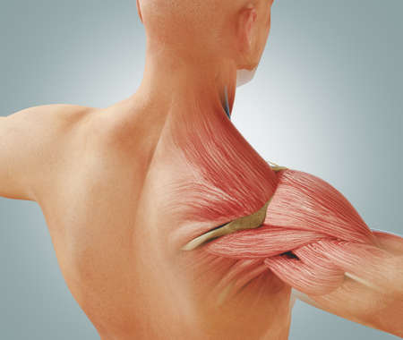 Man view from back. Blades, shoulder and trapezoid 3d rendering Standard-Bild