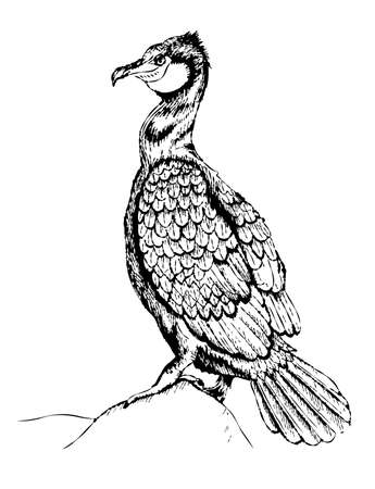 Hand drawn illustration of a cormorant. Cormorant vector illustration
