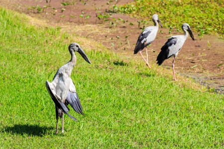 anastomus: Open-billed stork, Asian openbill Anastomus oscitans  wading bird in the stork family Ciconiidae in Thailand Stock Photo