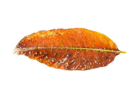 outworn: a dry brown leaf on white background