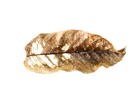 outworn: lacerated dry brown leaf on white background Stock Photo
