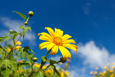 tong: Mexican Sunflower Weed (Bau tong flower) and blue sky at Mae Hong Son ,Thailand