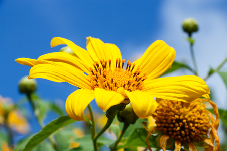 tong: close up of Mexican Sunflower Weed (Bau tong flower) and blue sky at Mae Hong Son ,Thailand