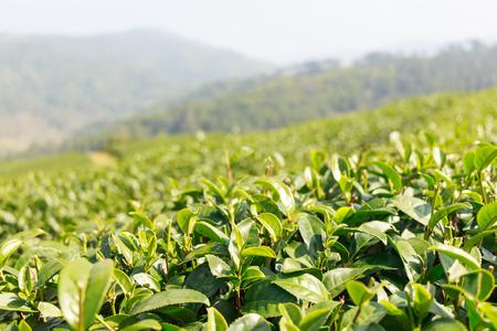 Tea plantation at Doi Mae Salong ,Chiangrai  ,Thailand photo