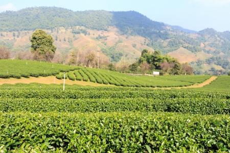 Tea plantation and blue sky at Doi Mae Salong ,Chiangrai ,Thailand photo