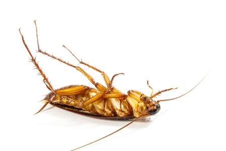 overturn: cockroach turn face up on white  isolated  white  Stock Photo