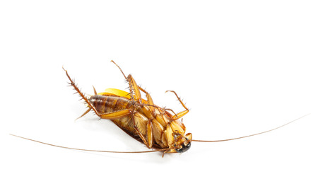 cockroach turn face up on white isolated  and blank area at upper side