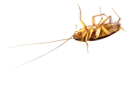 cockroach turn face up on white isolated  and blank area at lower side