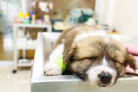cute puppy(Thai Bangkaew Dog) ill and sleep on operating table in veterinarians clinic Stock Photo