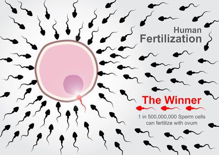 sex cell: Human Fertilization