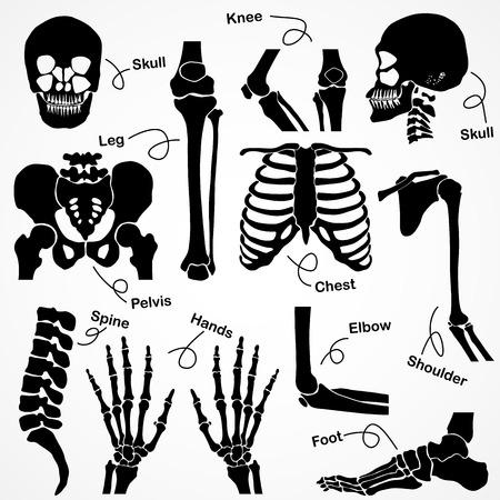 skelett mensch: Sammlung Menschliches Skelett
