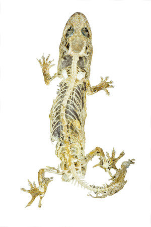 putrefy: dead body of lizard on white background