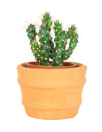 cereus: Cactus on isolated background ( Cereus hexagonus Mill ) Stock Photo