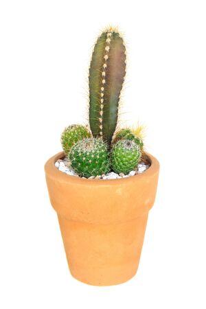 cereus: Cactus on isolated background ( Cereus hexagonus Mill ) Stock Photo