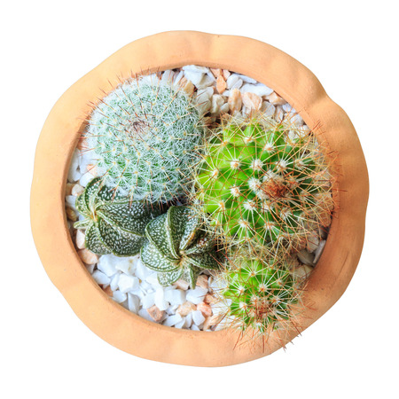 cereus: Cactus ( Cereus hexagonus Mill ) on flowerpot ( isolated background ) ( bird eye view )