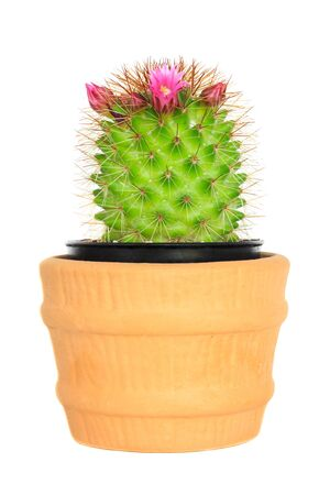 cereus: Cactus ( Echinocactus ) on isolated background ( Cereus hexagonus Mill ) Stock Photo
