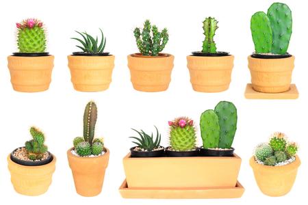plants species: Molti tipi di cactus (isolato sullo sfondo)