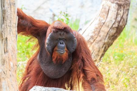 orang: Bornean orangutan(Pongo pygmaeus) in Thailand ( Found it at Borneo island , Sumatra island in Indonesia )