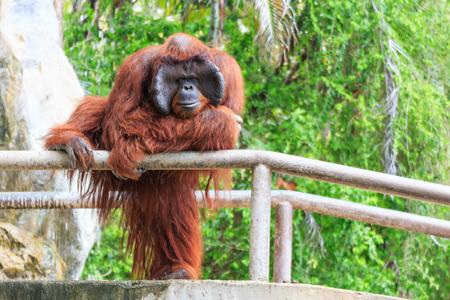 orang: Borneo orangutan(Pongo pygmaeus) Stock Photo
